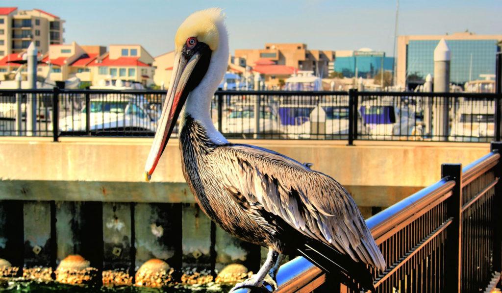 pensacola-downtown-pelican